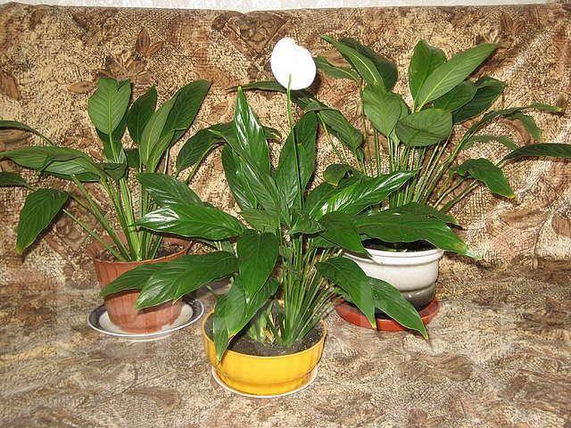 Комнатное растение владивосток