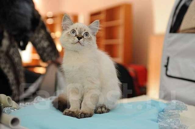 Невская маскарадная кошка.