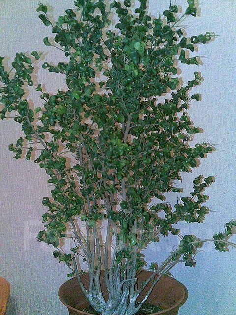 pobedpix.com / фикус с кудрявыми листьями