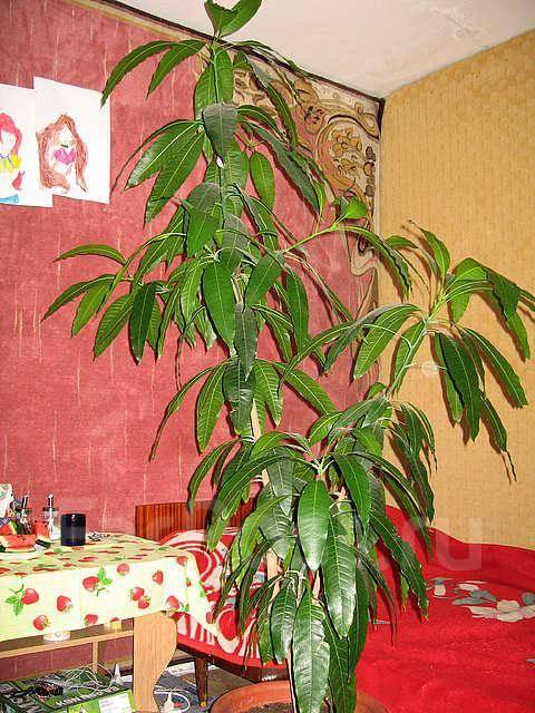 Дерево манго 2м эксклюзив
