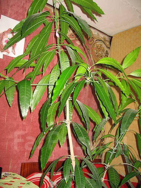 Кофе комнатные растения владивосток