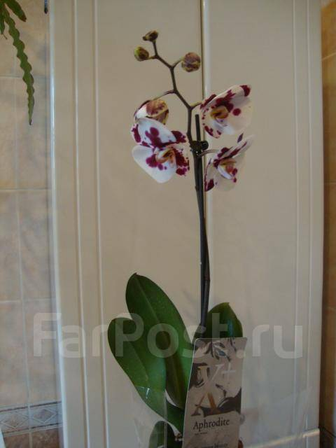 Уход за орхидеей афродита в домашних условиях 274