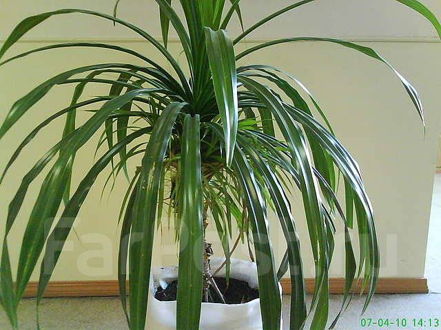 пальма винтовая