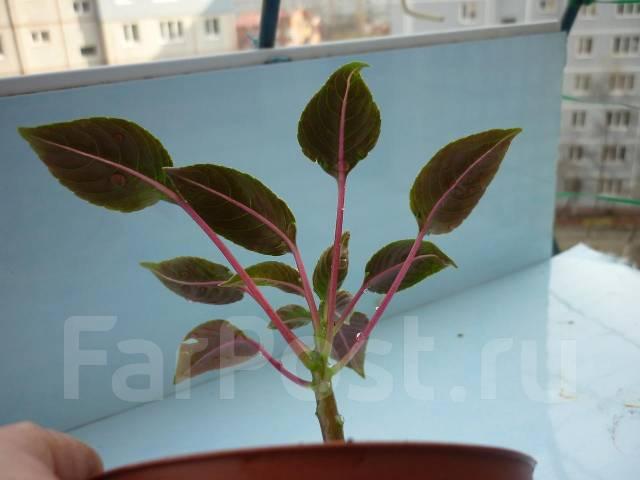 "Бальзамин ""Impatiens morsei Velvet Love ...: www.farpost.ru/vladivostok/home/homelife/flowers/balzamin-impatiens..."