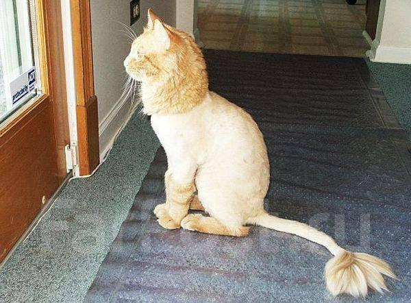 Стрижки для пушистых кошек
