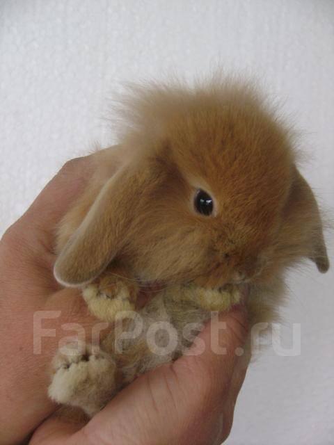 Кролик карликовый вислоухий