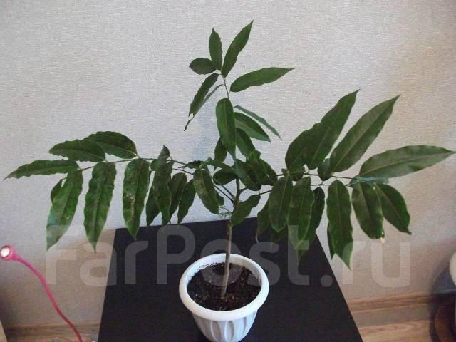 Кассия яванская феникс выращивание из семян 56