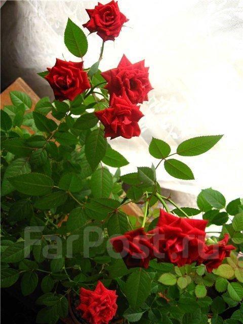 роза домашняя