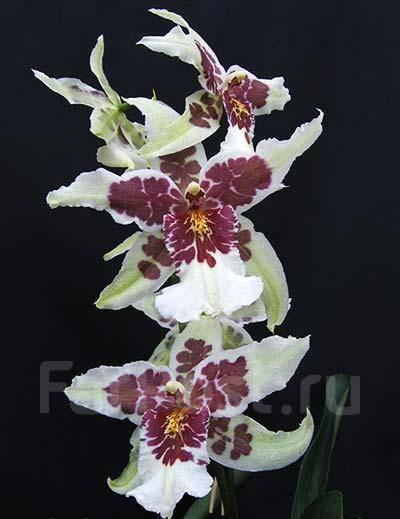 Орхидея в домашних условиях цветет