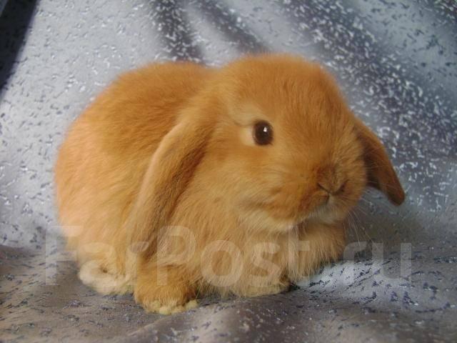 Вислоухий карликовый кролик - Другие животные во Владивостоке