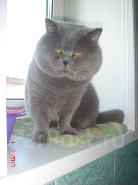 британских котов голубого окраса