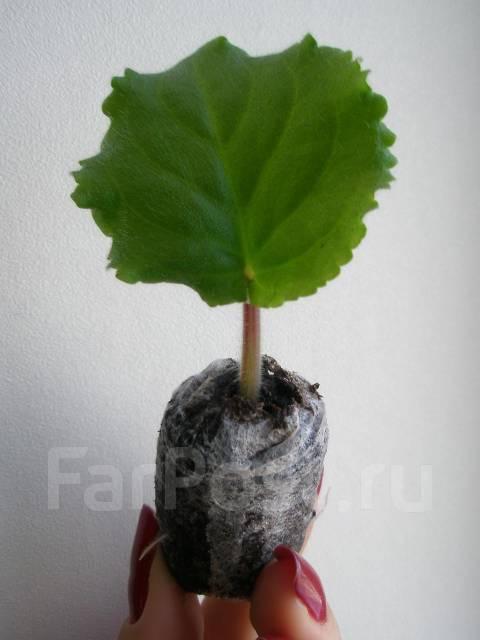 Фиалка, сорт Ян-Паша.