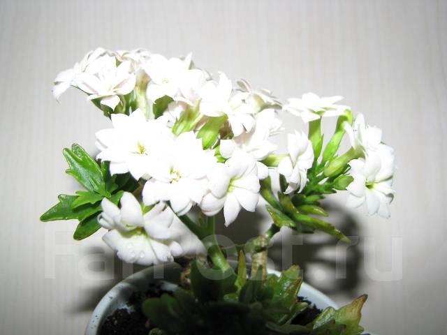 каланхоэ белый