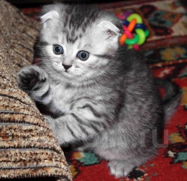 Шотландская вислоухая кошка  полосатая
