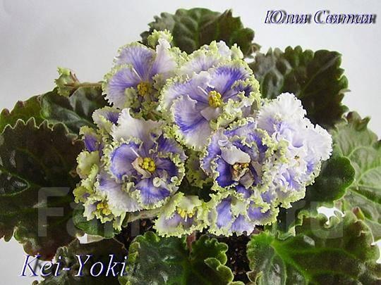 Цветущая фиалка Kei Yoki