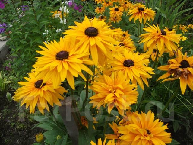 Неприхотливые многолетние цветы и растения для сада 27