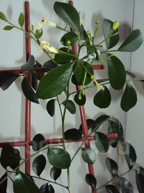 комнатное растение мурайя