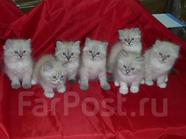 новорожденные котята невская маскарадная фото #8
