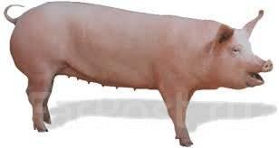 Свинина живым весом Цены, новости, аналитика