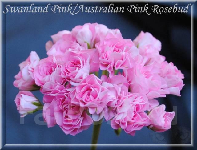 пеларгония swanland pink