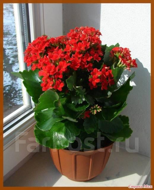 Комнатные растения каланхоэ фото