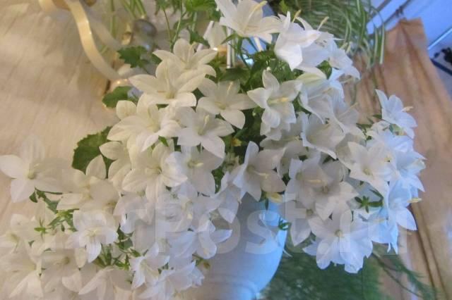 Кампанула белая невеста или