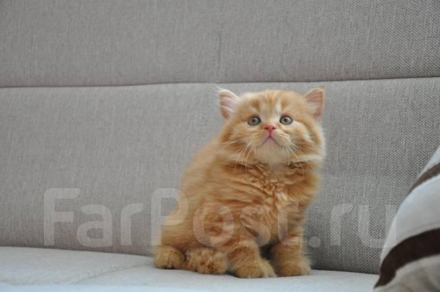 Шотландская прямоухая порода котята скоттиш страйт