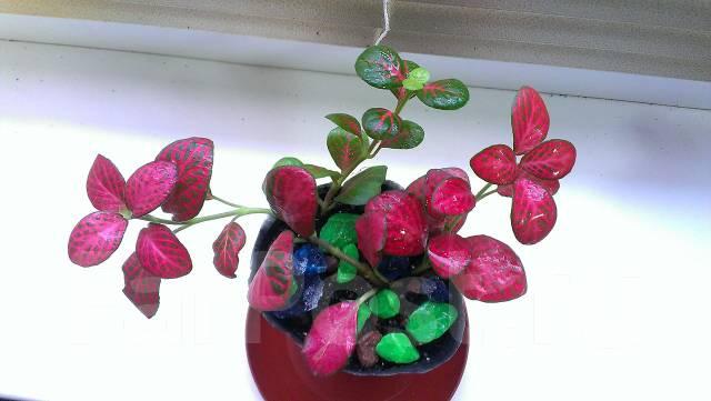 Купить цветы фиттония
