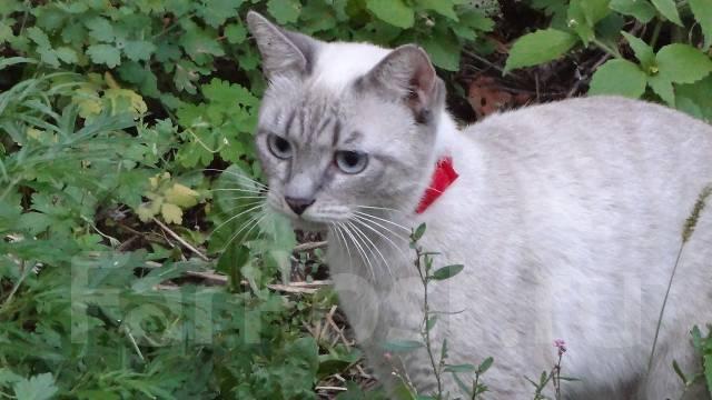 Тайский котенок во владивостоке