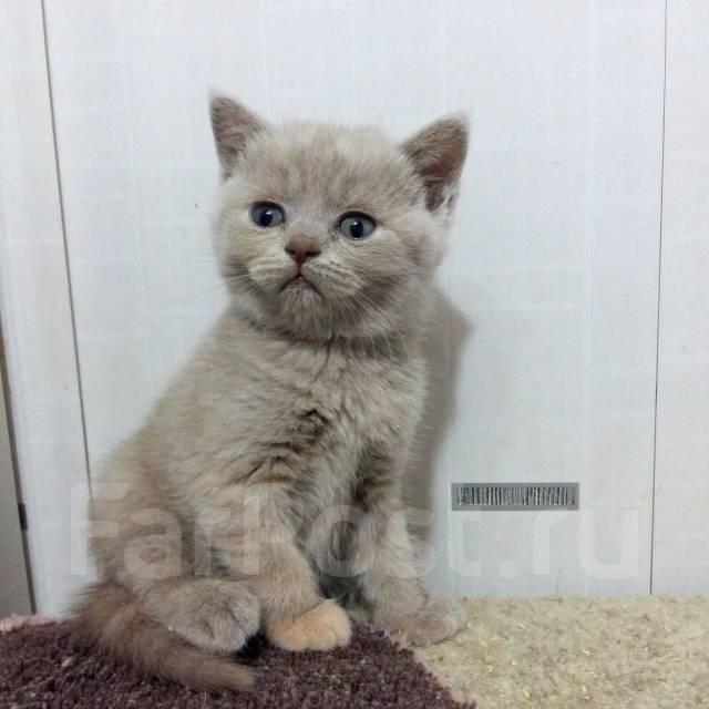 Шотландская кошка под заказ