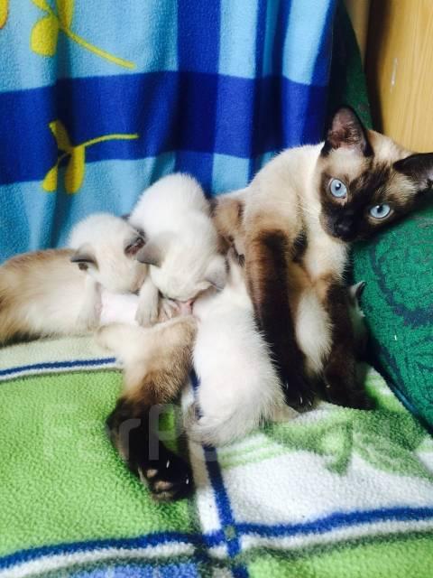Тайские котята во владивостоке