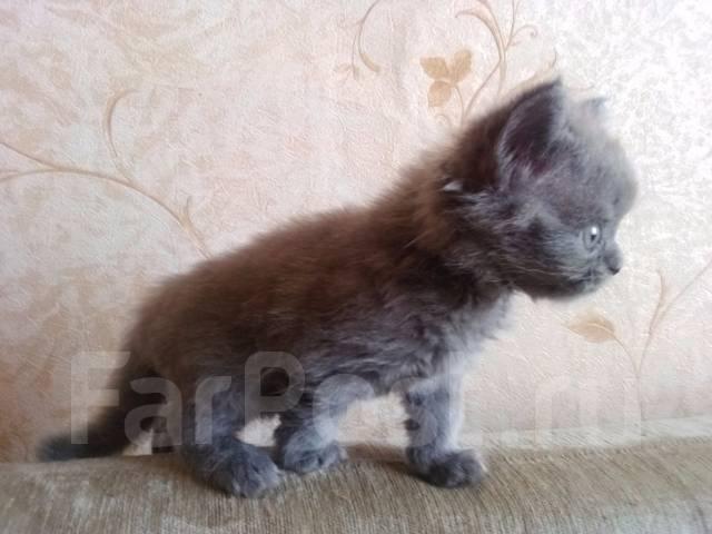 Шотландская прямоухая длинношерстная кошка