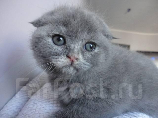 Шотландская вислоухая голубая кошка