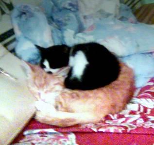 Котята от кошки крысоловки