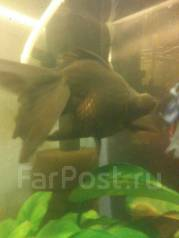 Золотая рыбка Телескоп.