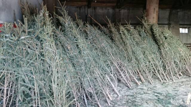 Продам оптом живые новогодние елки