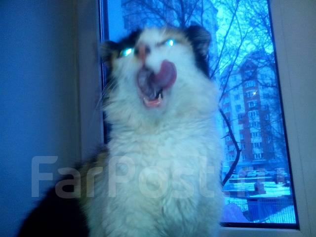 Подарю кошку триколор