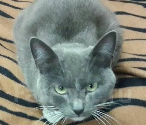 Русская голубая кошка.