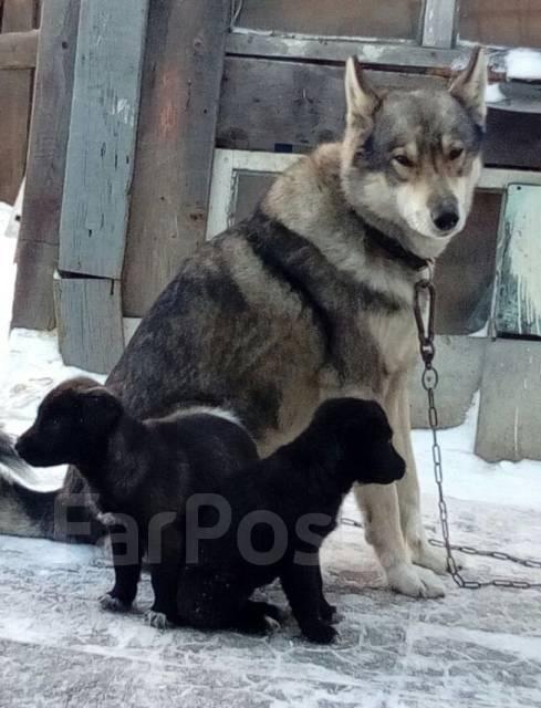 Отдам в добрые руки щенков (помесь спаниеля и лайки) во Владивостоке