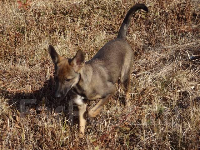 Щенок дворняжки - Собаки во Владивостоке Дворняжка Щенок