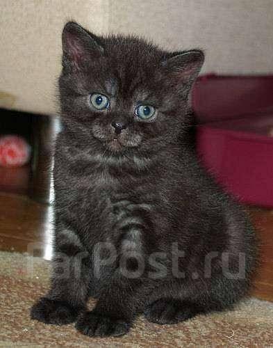 Британские коты чёрный дым