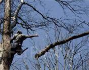 Спиливание деревьев. Вывоз деревьев. Выкорчевка пней.