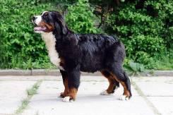 Перспективный щенок Бернского зенненхунда