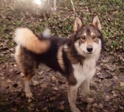 Пропала собака западно-сибирская овчарка, кобель, 2,5 года