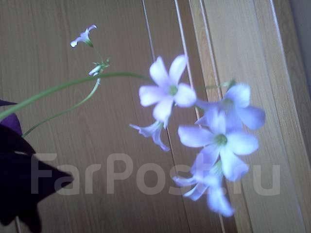 Цветок ночная бабочка