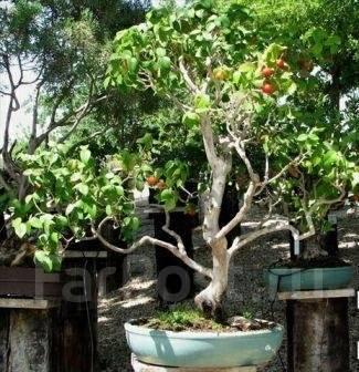 Суринамская вишня купить