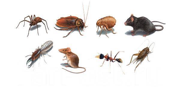 Уничтожение насекомых и грызунов (тараканы, клопы, клещи, крысы, мыши)