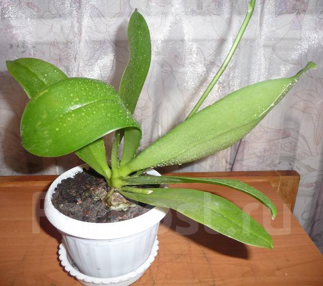Орхидея фалинопсис. Начало цветения!