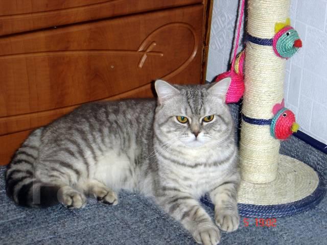Коты фолды и страйты