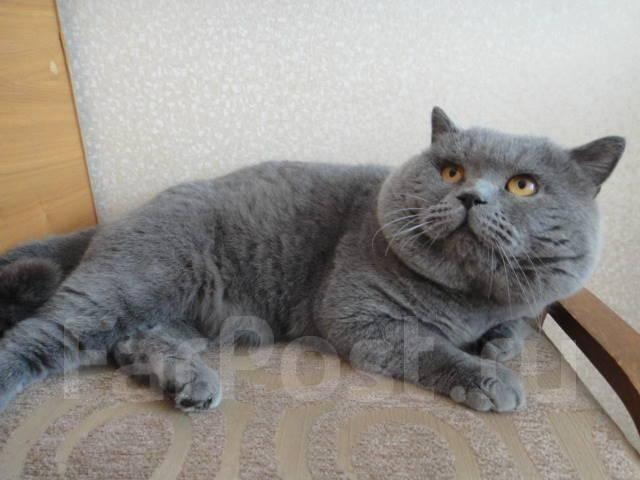 Британец голубой кот для вязки